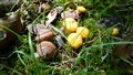 Acorns and Yellow Fungi Nestled in the Wild Grass and Leaves
