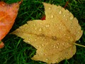 Maple Leaf with Dew