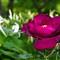 wild rose 4