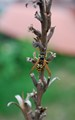 This was taken in Newport, RI. This is a yellow jacket climbing a dead flower stalk.