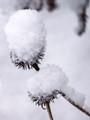 Ice Cone Flowers