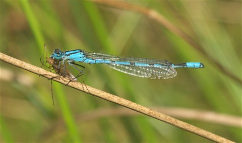 Common blue damselfly with crane fly