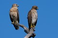 Red-shoulder Hawk - Mating couple