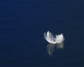 Pure White Feather Floating Free