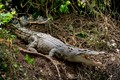 Saltwater Crocodile Nest