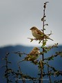 Female house sparrows - Greece