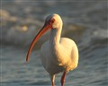 White Ibis wading in the late afternoon light.