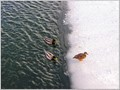 Ducks in Huron river