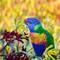Rainbow Lorikeet-2