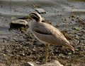 Indian Stone Curlew-FZ35