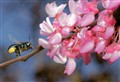 Mason Bee Flying to Redbud Flowers