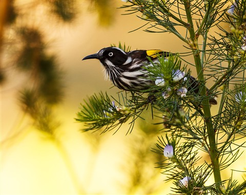 New Holland Honeyeater 14