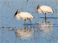 Wading wood storks