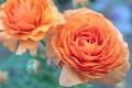 Rose number five