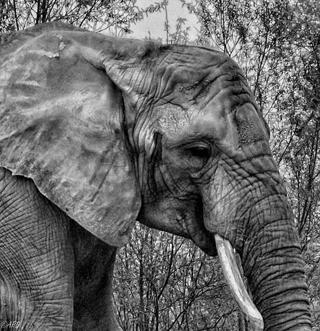 elephant 02-5145838