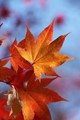 Orange-red Maple Leaves