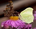 Butterfly Confrontation