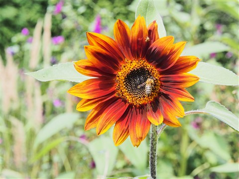 bee in red sunflower
