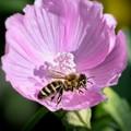 Bee in Lavatera