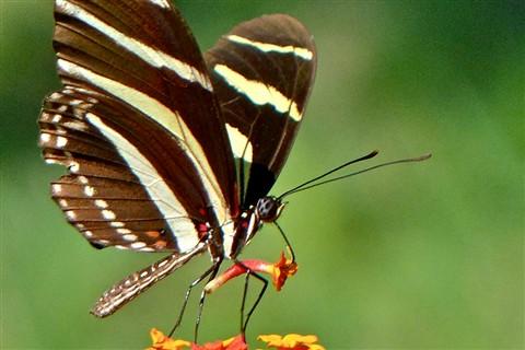 Zebra Heliconia 40112