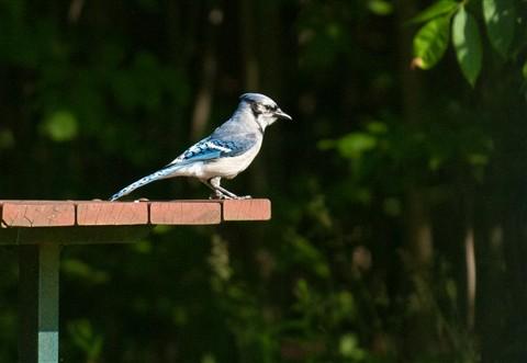 20110628_Blue_Jay_bird_picnic_table_shutter_speed_motion_118_iPad