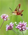 Hummingbird Moth on Verbena Bonairensis