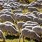 Flock of Sheep-6843