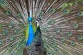 Horny Peacock