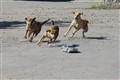 dogs running after the car