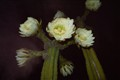 Night Blooming San Pedro Cactus
