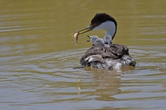 Western grebe with babies on board