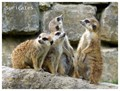 Suricates (© Opel-Zoo, Frankfurt, Germany)