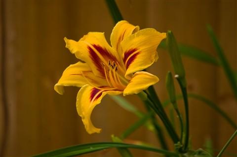 Last lilies-1