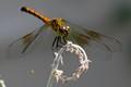 Barnegat Dragonfly