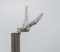 I waited patiently for this snowy owl sitting on a pole to launch in flight, and fortunately was able to draw my camera quick enough to capture this photo.