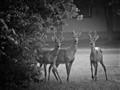 Morning antlers