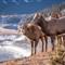 BighornSheepAbrahamLk_Jan_2013_418