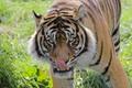 Tiger lick_2714-01