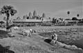 Angkor Cows