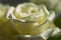 Moonlit Rose