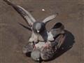 Pigeon on Top