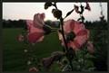 Meadow Garden Roses