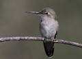 Female Anna's hummingbird.