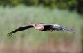 Anhinga Flight