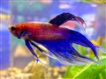 Neon Blue Male Betta Fish