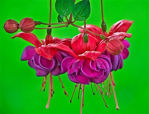 Fuchsia-filled