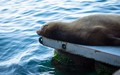 A sea lion sleeping at the pier in Santa Cruz
