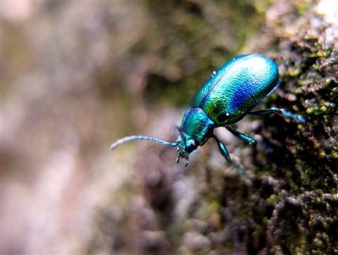 Mountain Beetle