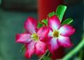 A Twin Flower