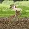 deer-lying-down